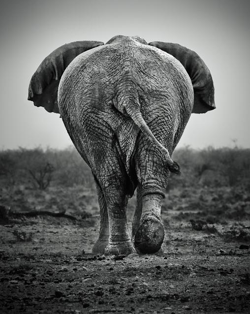 elephant from behind Top 10 Facts of the Worlds Largest Land Animal [20 pics]