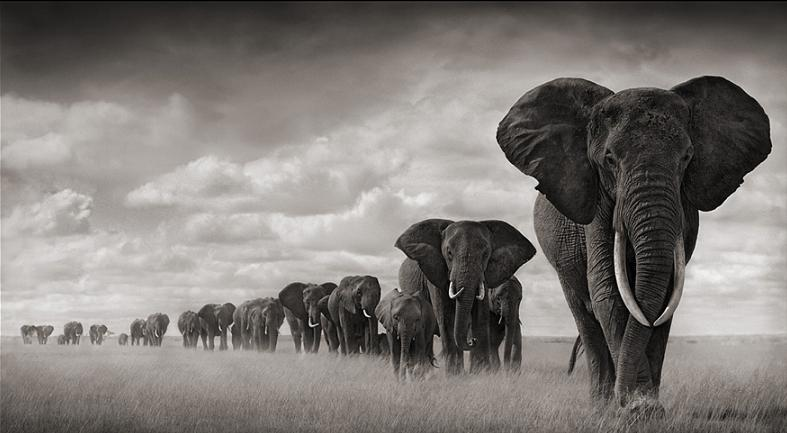 elephants travelling in line Top 10 Facts of the Worlds Largest Land Animal [20 pics]