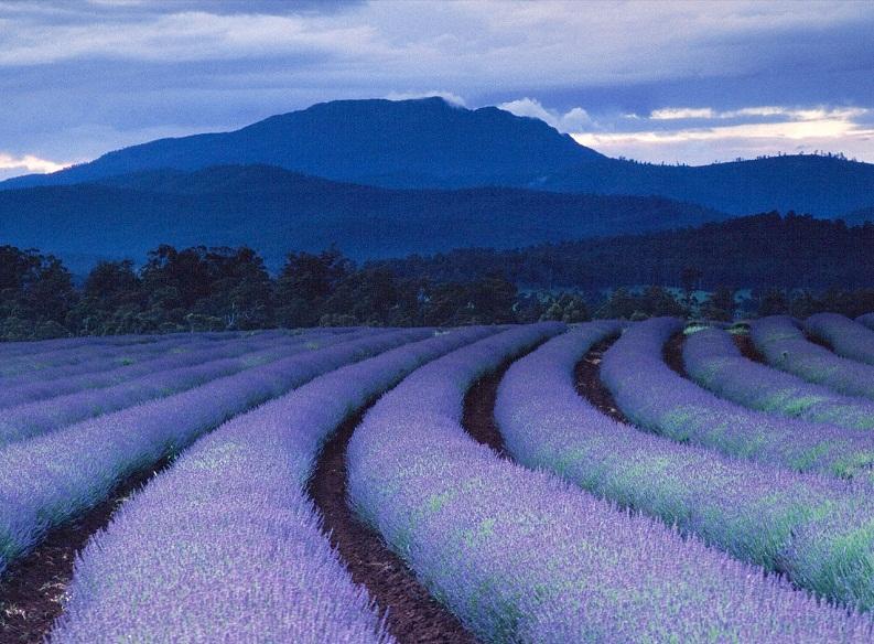 lavender fields bridestowe estate tasmania Picture of the Day: Purple Rain