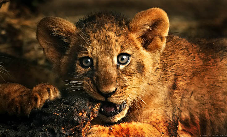 baby lion 25 Magnificent Pictures of LIONS