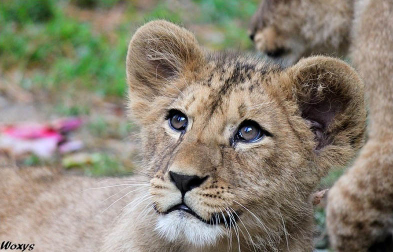 cute baby lion 25 Magnificent Pictures of LIONS
