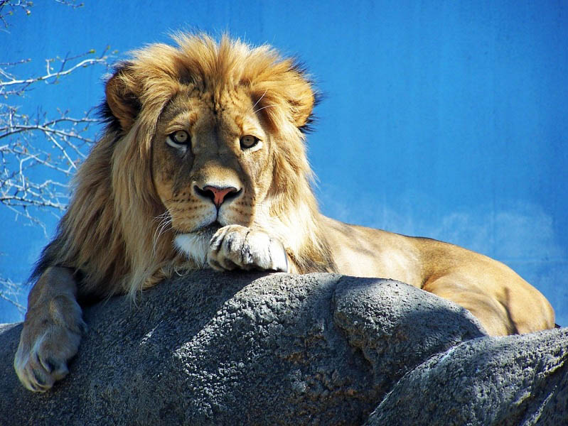 lion laying 25 Magnificent Pictures of LIONS