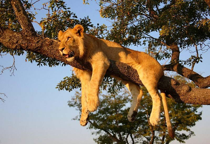 lion on tree 25 Magnificent Pictures of LIONS