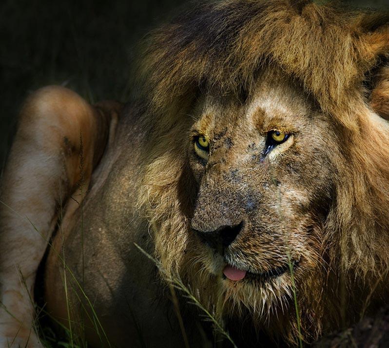 lion portrait 25 Magnificent Pictures of LIONS