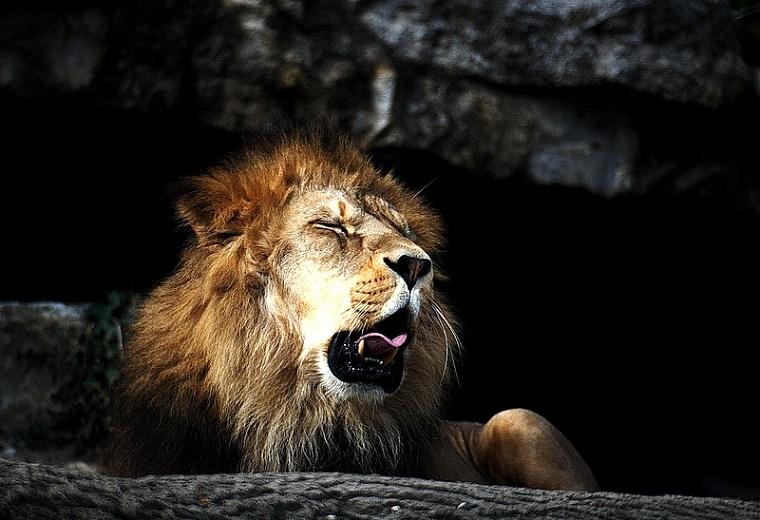 lion yanwing 25 Magnificent Pictures of LIONS