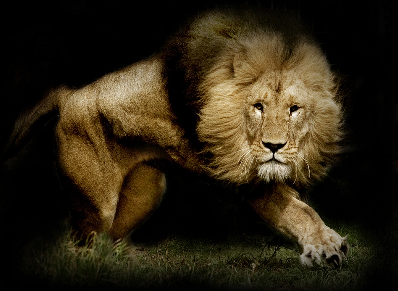 lion 25 Magnificent Pictures of LIONS