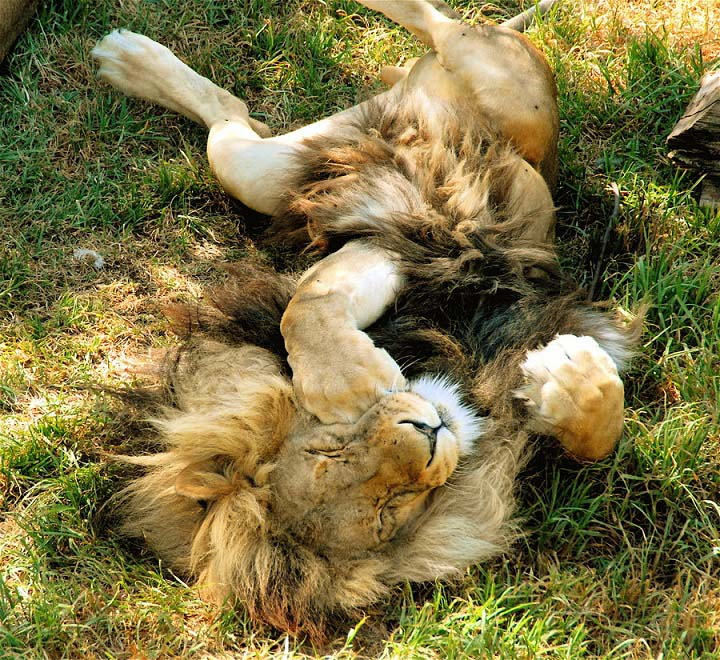 sleeping lion 25 Magnificent Pictures of LIONS
