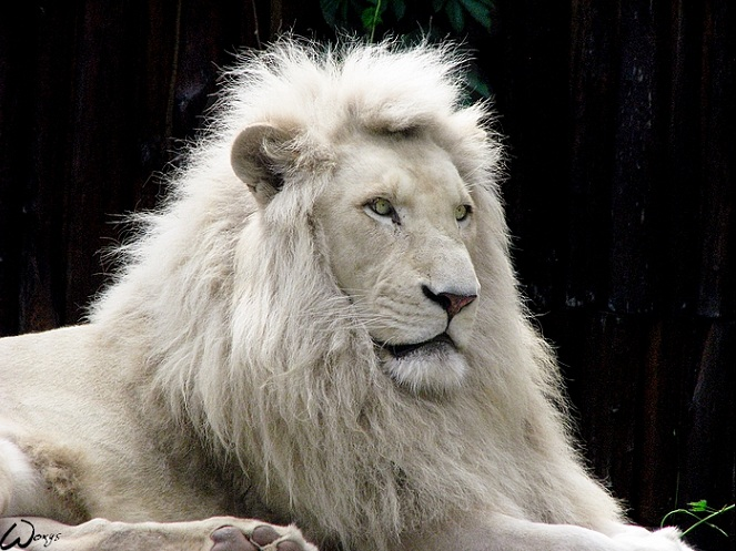white lion 25 Magnificent Pictures of LIONS
