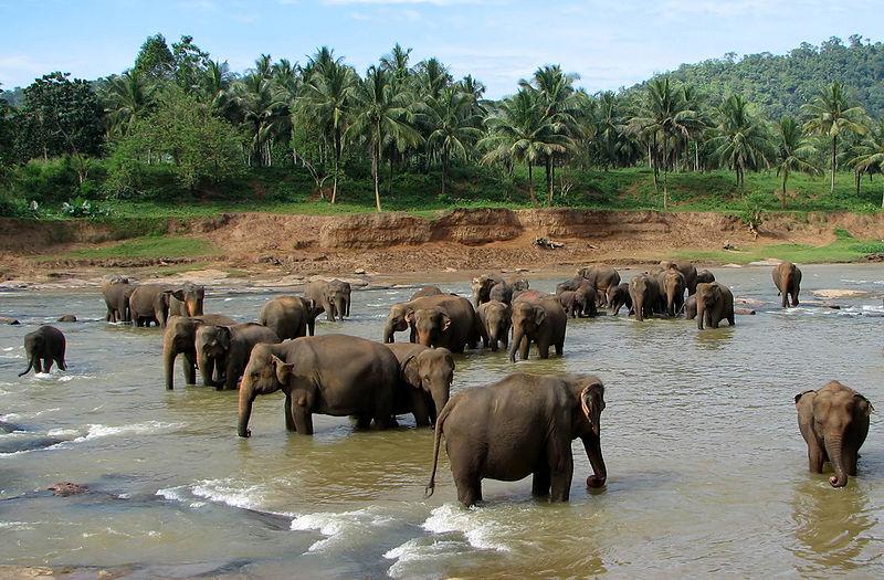elephant orphanage at pinnawala sri lanka Top 10 Facts of the Worlds Largest Land Animal [20 pics]