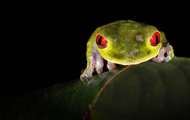 frog closeup 1 10 Reasons Frogs Are Awesome [25 Pics]