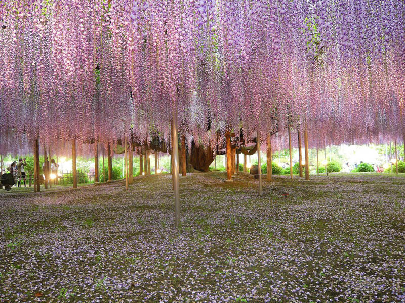 giant wisteria vines Picture of the Day: Giant Wisteria Vines in Japan