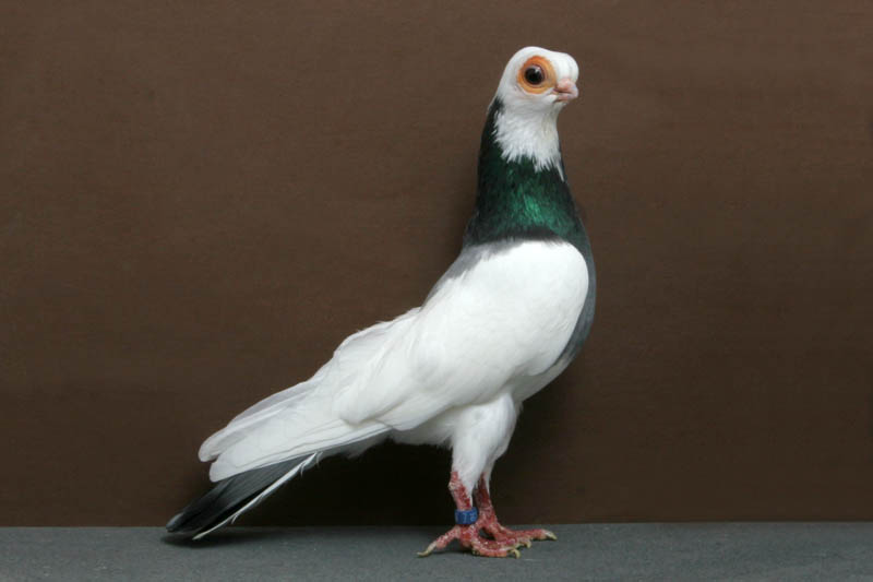 budapest tumbler mike spencer Bizarre Gallery of Grand National Champion... Pigeons!?! [30 pics]