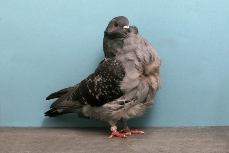 chinese owl john de carlo jr Bizarre Gallery of Grand National Champion... Pigeons!?! [30 pics]