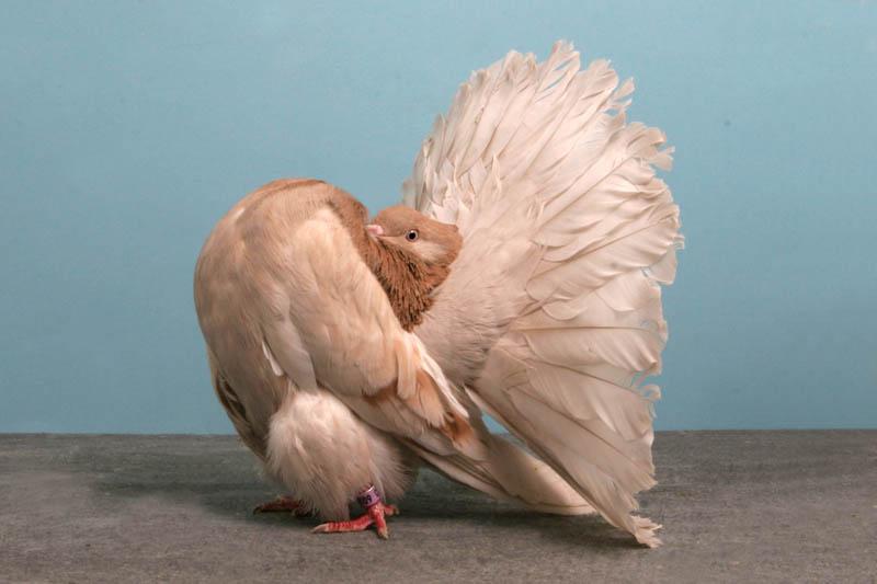 fantail amir turkanovic Bizarre Gallery of Grand National Champion... Pigeons!?! [30 pics]