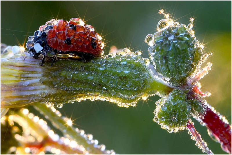 morning dew on ladybug flower Picture of the Day: Morning Dew