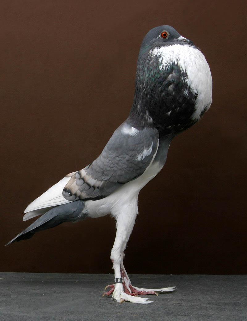 pigmy pouter tally mezzanatto Bizarre Gallery of Grand National Champion... Pigeons!?! [30 pics]
