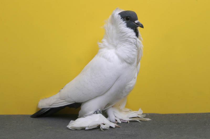 schmalkaldnener mohrenkopf pariseau lofts Bizarre Gallery of Grand National Champion... Pigeons!?! [30 pics]