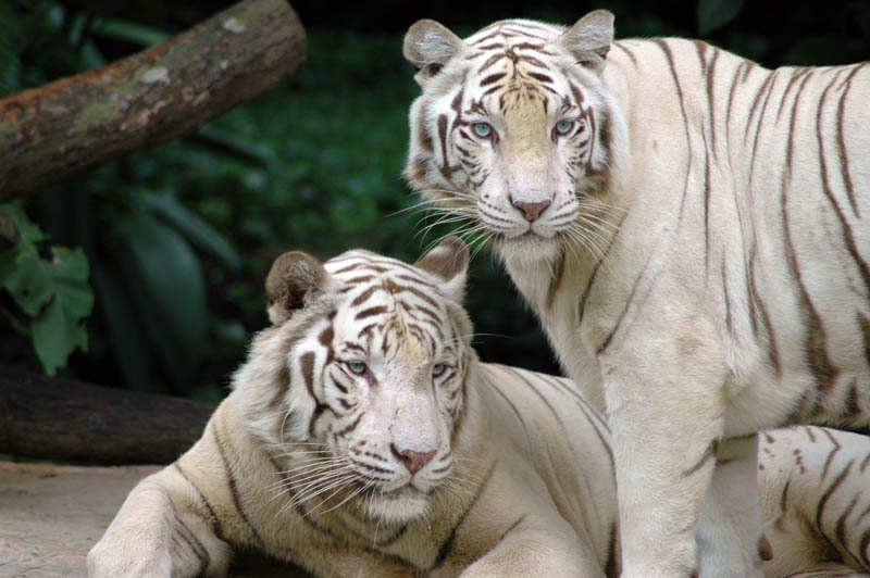 singapore zoo tigers The Mighty Tiger: 15 Facts and 25 Stunning Photos
