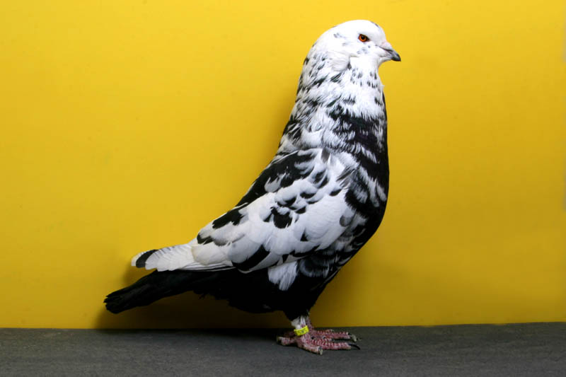 swiss mondaine emily isom Bizarre Gallery of Grand National Champion... Pigeons!?! [30 pics]