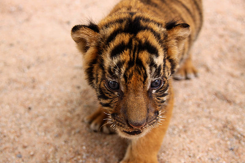 tiger cub 2 The Mighty Tiger: 15 Facts and 25 Stunning Photos