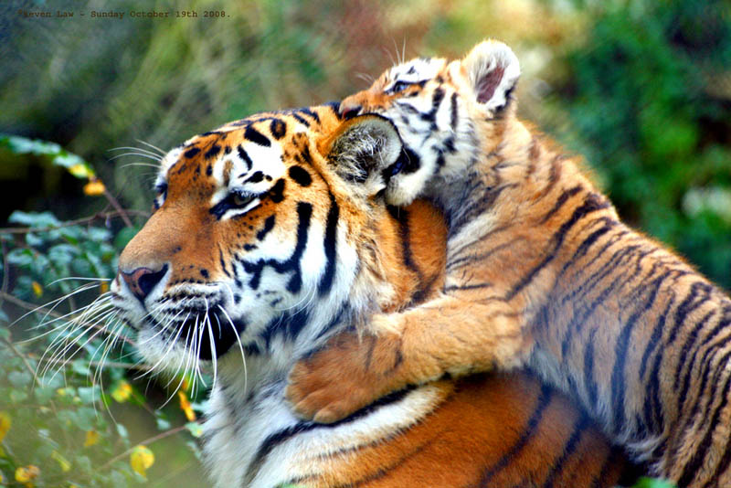 tiger cub The Mighty Tiger: 15 Facts and 25 Stunning Photos