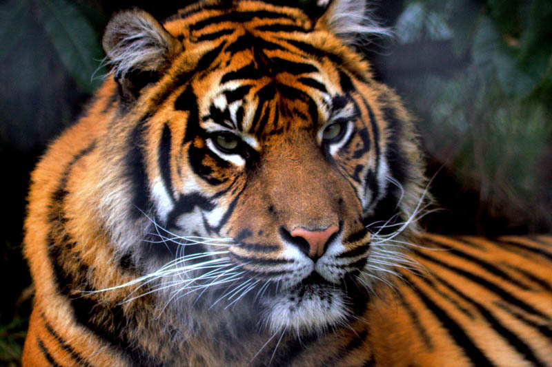 tiger portrait The Mighty Tiger: 15 Facts and 25 Stunning Photos