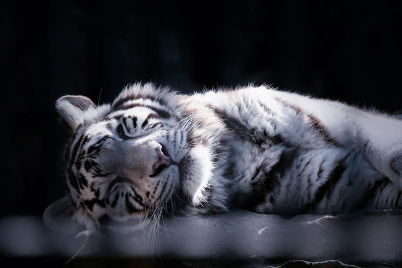 white tiger cub The Mighty Tiger: 15 Facts and 25 Stunning Photos