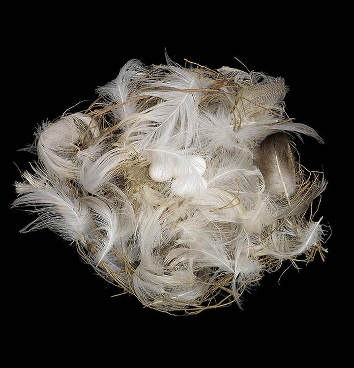 bank swallow nest sharon beals 25 Stunning Photographs of Birds Nests