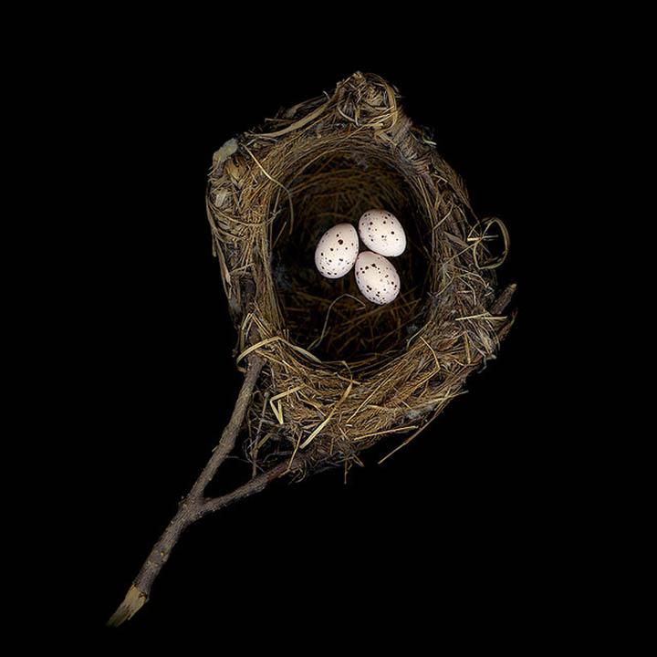black naped oriole sharon beals 25 Stunning Photographs of Birds Nests