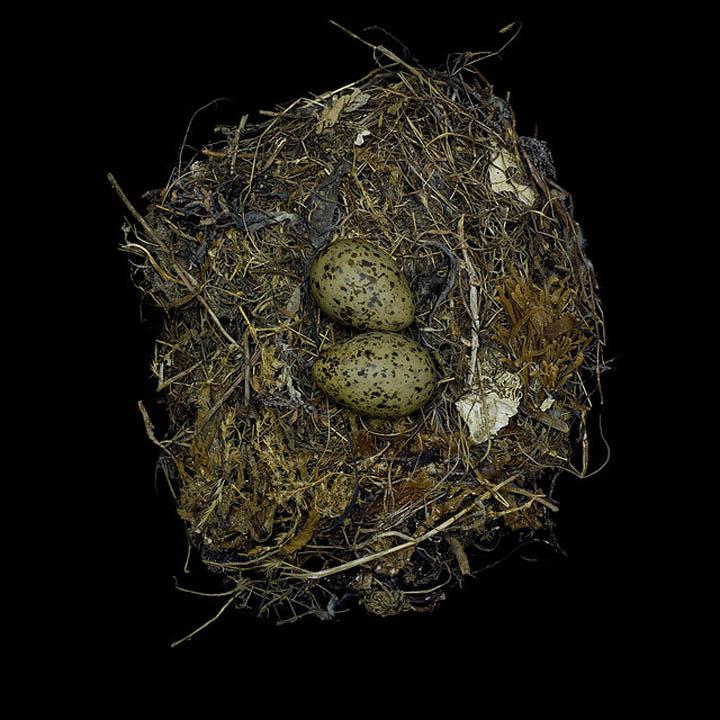 larus occidentalis sharon beals 25 Stunning Photographs of Birds Nests