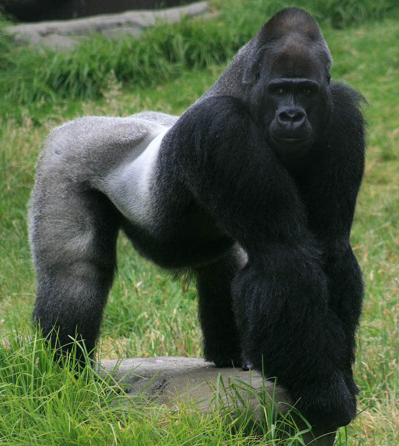 male gorilla in sf zoo 25 Remarkable Photographs of Gorillas