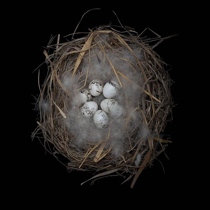 meadow bunting sharon beals 25 Stunning Photographs of Birds Nests