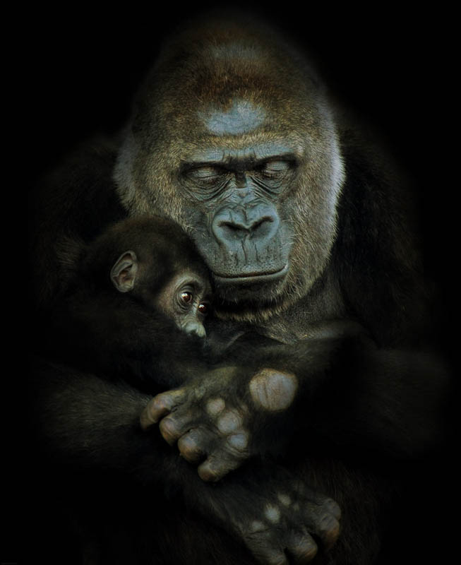 mother and child gorilla 25 Remarkable Photographs of Gorillas