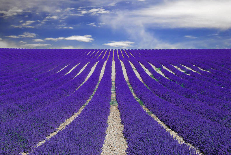 purple lavender field provence france The Top 25 Pictures of the Day for 2013