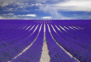 Picture of the Day: Fields of Lavender in Provence, France