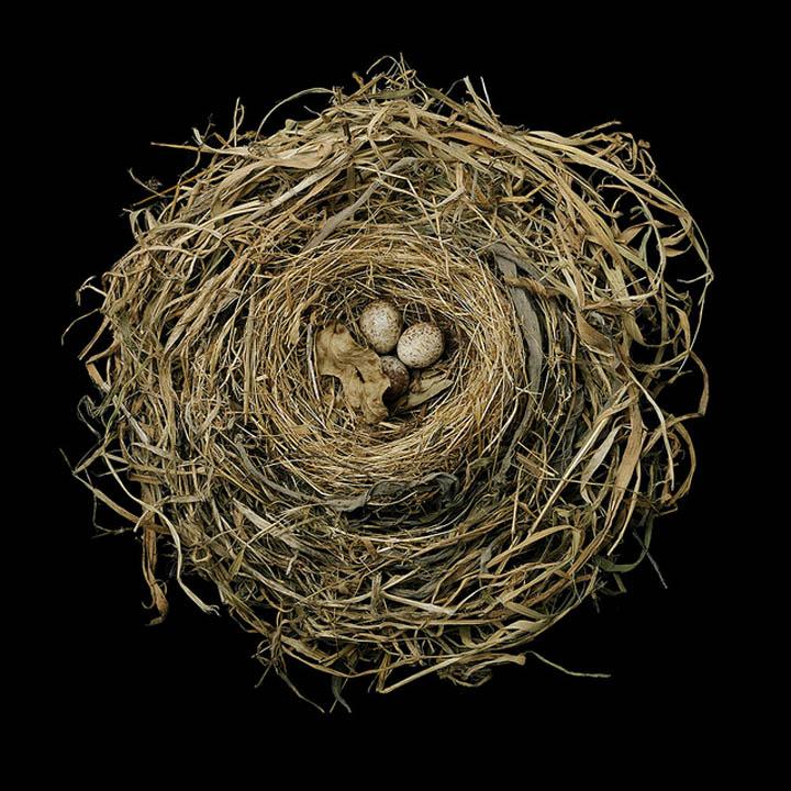 song sparrow sharon beals 25 Stunning Photographs of Birds Nests