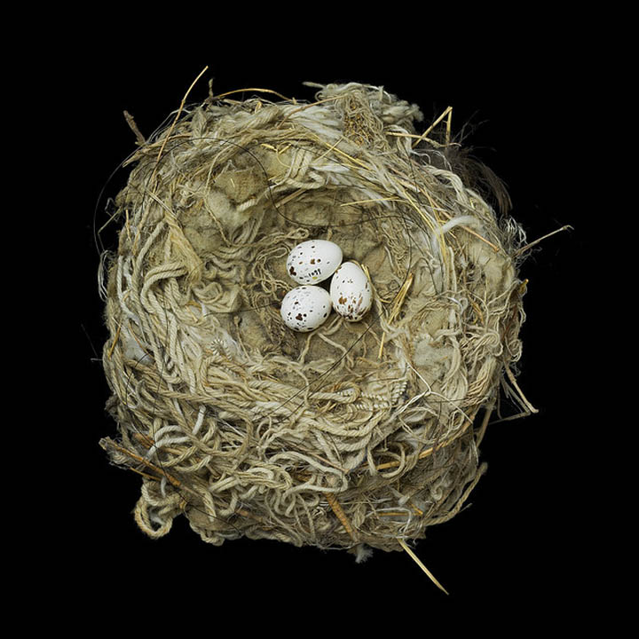 tryrannus verticalis sharon beals 25 Stunning Photographs of Birds Nests
