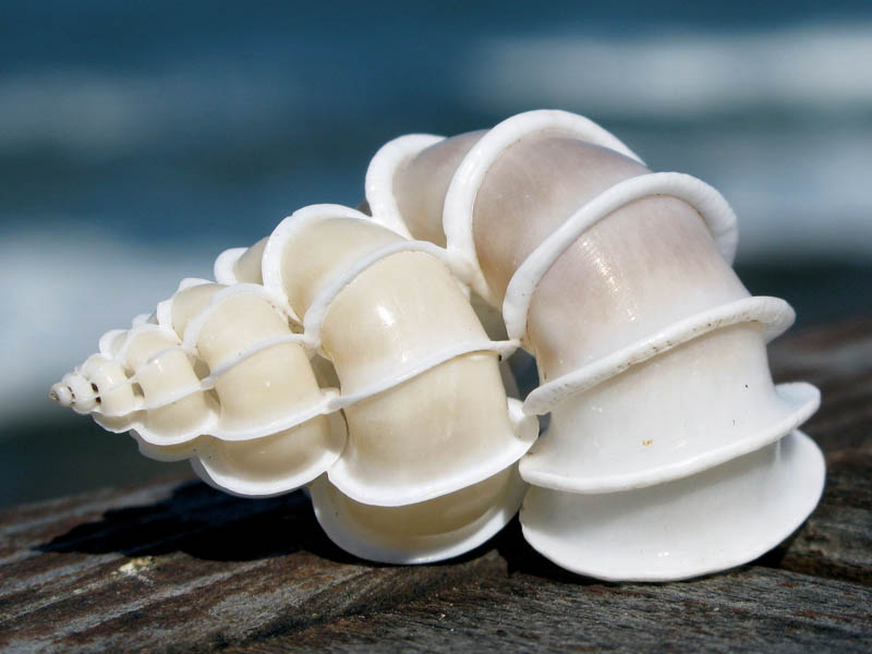 epitonium scalare shell Picture of the Day: The Stunning Epitonium Scalare Seashell