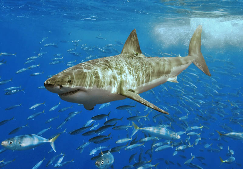 great white shark 1 The Great White Shark: Masters of the Sea [20 pics]
