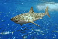 The Great White Shark: Masters of the Sea [20 pics]