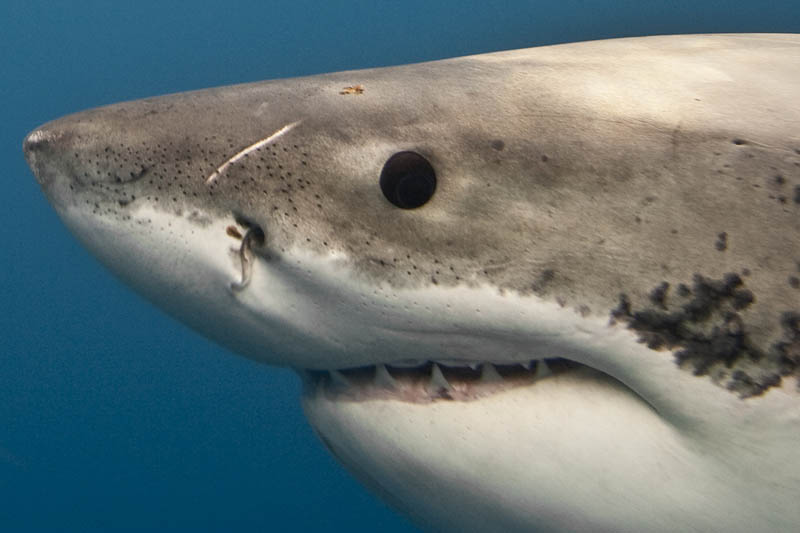 great white shark 11 The Great White Shark: Masters of the Sea [20 pics]