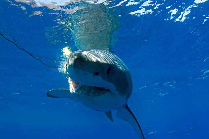 great white shark 13 The Great White Shark: Masters of the Sea [20 pics]