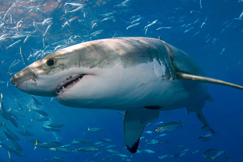 great white shark 15 The Great White Shark: Masters of the Sea [20 pics]