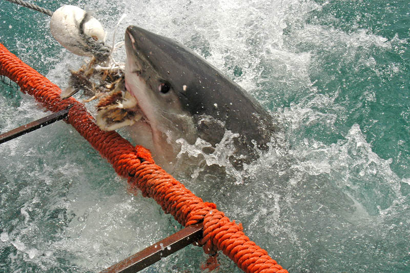 great white shark 2 The Great White Shark: Masters of the Sea [20 pics]