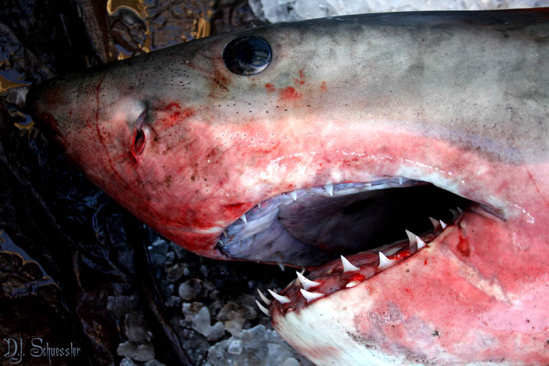great white shark 5 The Great White Shark: Masters of the Sea [20 pics]