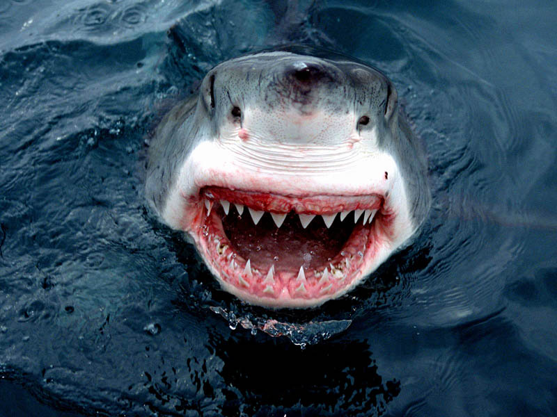 great white shark 6 The Great White Shark: Masters of the Sea [20 pics]