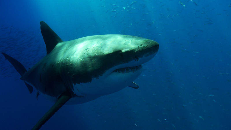 great white shark 7 The Great White Shark: Masters of the Sea [20 pics]