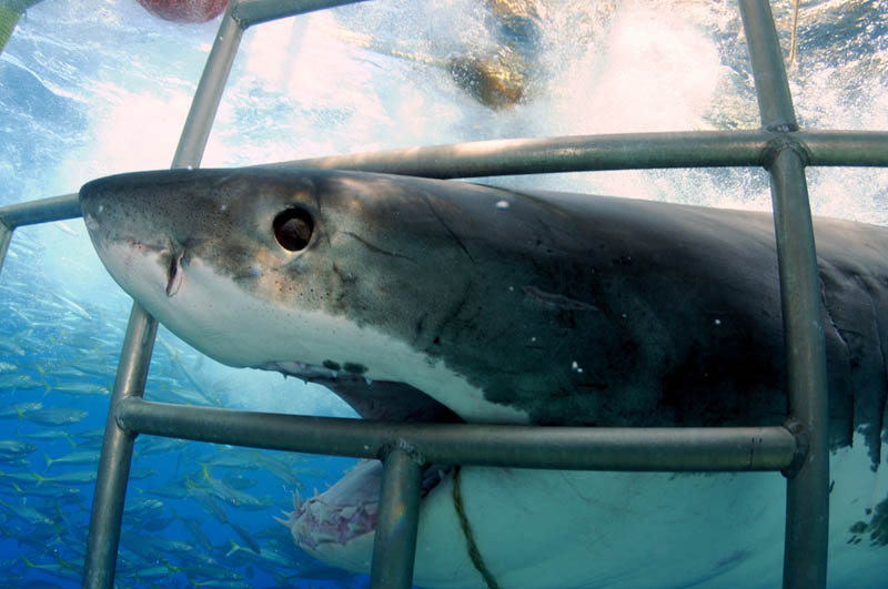 great white shark 8 The Great White Shark: Masters of the Sea [20 pics]