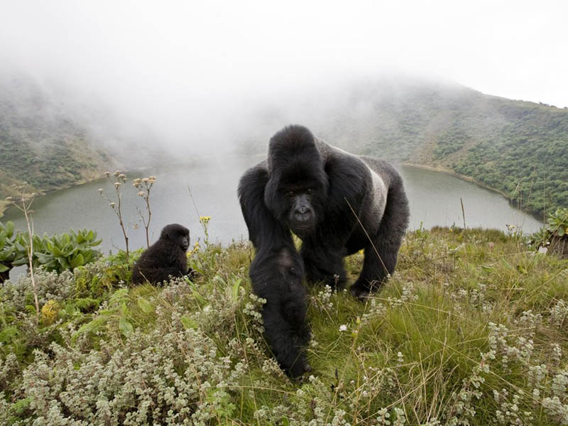 silverback gorillas in the mist Picture of the Day: Gorillas in the Mist