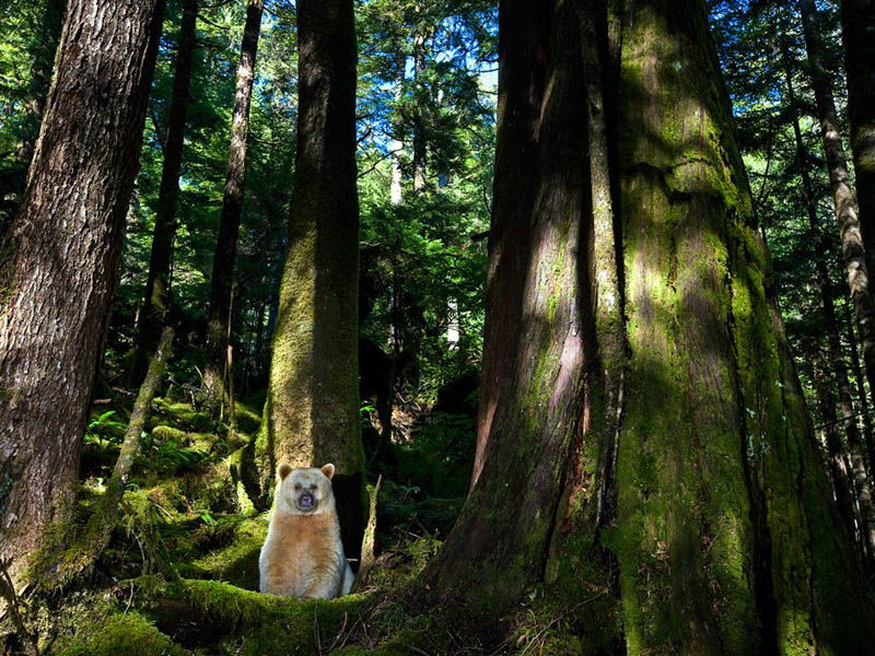 bear in forest photobomb british columbia canada Picture of the Day: Suddenly... A Bear!